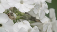 The crab spider crawling on the white flower Stock Footage