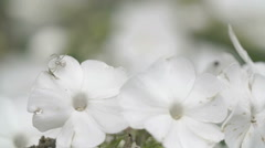 The crab spider hunting on the white flower Stock Footage