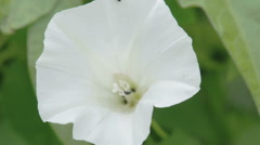 The white petals of the field bindweed flower Stock Footage