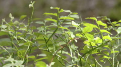 A blueberry plant or known as vaccinium corymbosum Stock Footage