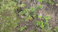 Lots of cowberry plants with its red fruit Stock Footage