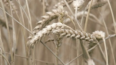 The wheat grain crop in the meadows Stock Footage