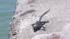 Marine iguanas walking in slow motion at the Galapagos Islands, Ecuador Stock Footage