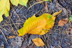 autumn leafage - stock photo