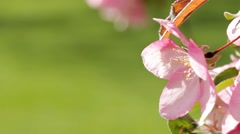 Cherry Blossom Close Up on Flower Stock Footage