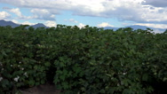 Stock Video Footage of 4K Blooming Cotton Plants Mountains Sky