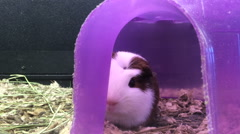 Guinea pig sitting extremely still in cage Stock Footage