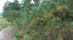 4k Pine trees closeup moving in the wind in Lunenburg Heath Stock Footage