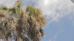 Cabbage palm gentle wind Stock Footage