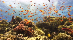 Colorful Fish on Vibrant Coral Reef Stock Footage