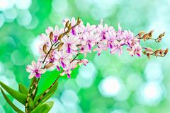 dendrobium orchid hybrids - stock photo