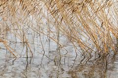 Dry autumn reeds Stock Photos