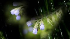 Blue field flower in a garden in the rain, Medical herb Common Comfrey Stock Footage