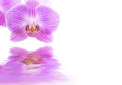 pink orchid reflections - stock illustration