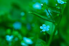 forget-me-not flower closeup - stock photo