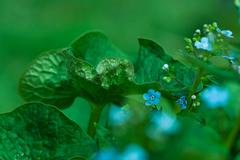 forget-me-not closeup - stock photo