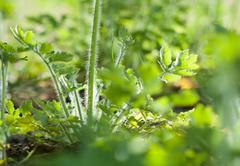 greater celandine plant - stock photo