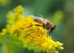 Stock Photo of hoverfly closeup