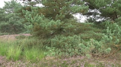 4k Lunenburg Heath with Cross-Leaved Heath plants and pine trees still view Stock Footage