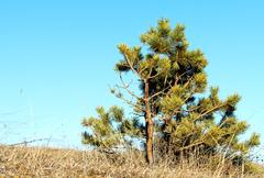 Lone young pine Stock Photos