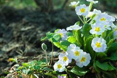 primula primroses - stock photo