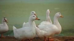 Ducks walking Stock Footage