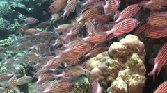 Shoal of Stripped Fish on Coral Reef Stock Footage