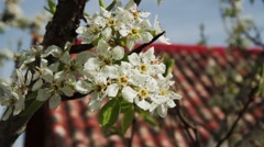 Branch aper tree with flowers Stock Footage