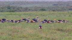GREY CROWNED CRANE AFRICAN WILDLIFE Stock Footage