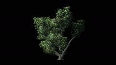 Sogar Maple Tree On black  Background Stock Footage