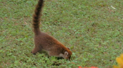Tight shot of a wild coati foraging for food. Stock Footage