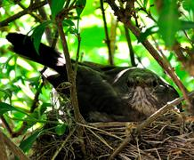 The  nestlings in a tree nest. Stock Photos