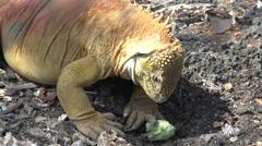 Galapagos land iguana eating fruit at Santa Cruz, Galapagos Islands, Ecuador Stock Footage