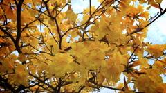 Handroanthus albus, Yellow Ipe  Stock Footage