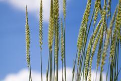 grass closeup over sky background - stock photo