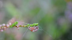 Stock Video Footage of European garden spider Araneus diadematus sitting in common heather