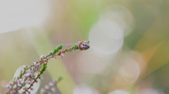 European garden spider Araneus diadematus sitting in common heather Stock Footage