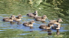 Family of young wild ducklings. voice of birds Stock Footage