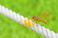 Orange wing of dragonfly Stock Photos