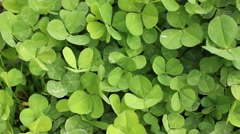 Clover field background Stock Footage