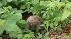 Hedgehog in the grass Stock Footage