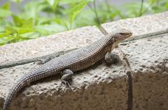 Very large lizards Stock Photos