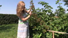 young pregnant woman eat  blackberries from branch in garden - stock footage
