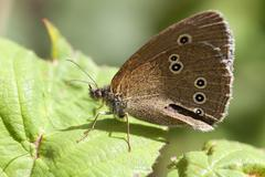 Common ringlet - Coenonympha tullia - stock photo