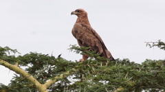 AFRICAN TAWNY EAGLE Stock Footage