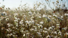 chamomiles in still shot - stock footage