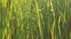 Bulrush thickets - stock footage