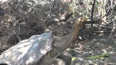 The Galápagos tortoise looking around, Santa Cruz, Galapagos Islands, Ecuador Stock Footage