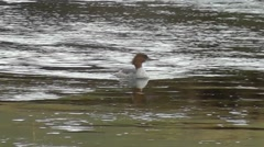 Female Goosander / Merganser swimming and preening its feathers Stock Footage