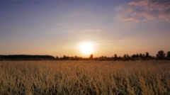 The cereal (wheat) field by sunset background - stock footage